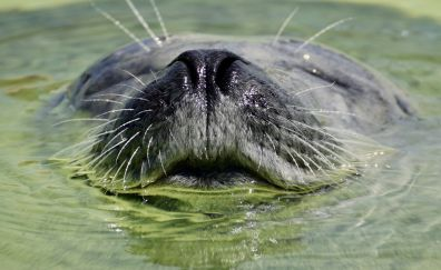 Seal, water animal, swimming, muzzle
