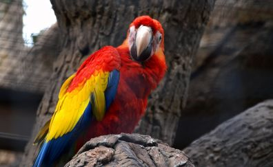 Red yellow macaw, parrot