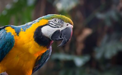 Blue yellow bird, parrot, macaw, beak