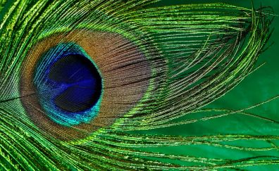 Close up, peacock, feather, colorful, birds plumage, 5k