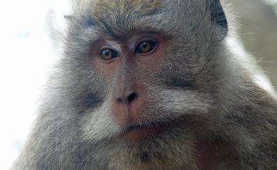 Monkey, muzzle, animal, wildlife