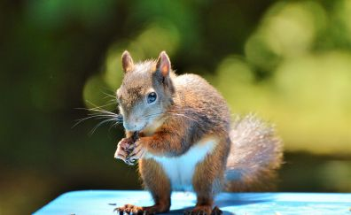 Squirrel, rodent, small animal, garden, animal, eating