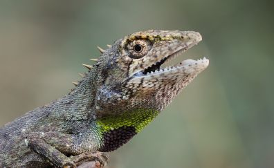 Lizard, muzzle, animal, 4k