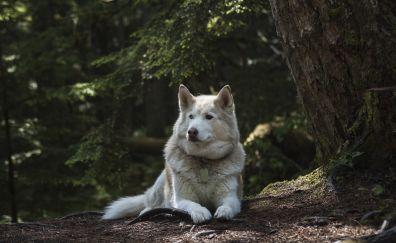 German shepherd, dog, clam, relaxed