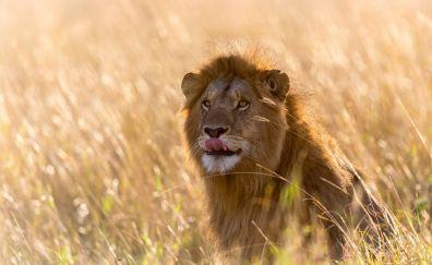Wild animal, predator, lion, grassfield