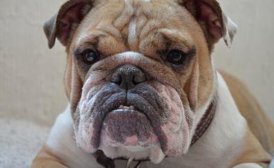 Pet dog, pitbull, muzzle, 4k