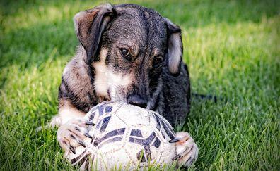 Beagle, dog, ball, play, grass