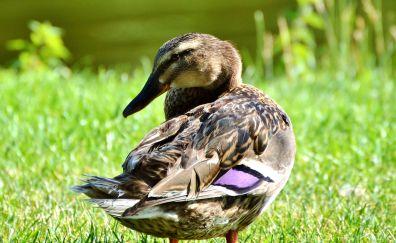 Mallard, brown duck, looking back