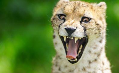 Angry, cheetah, muzzle, predator, animal