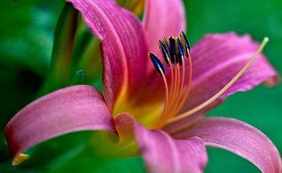Lily, flowers, pollen, close up, 4k