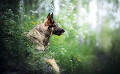 German shepherd, dog, muzzle, meadow
