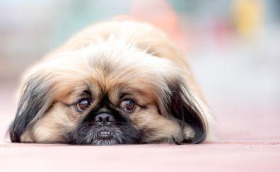 Cute dog, Pekingese, relaxed