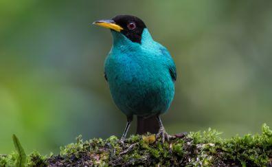 Honeycreeper bird, cute