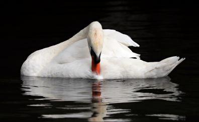 White swan, bird, swim, reflections