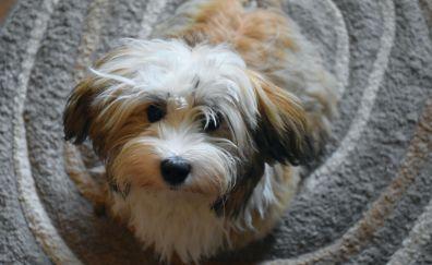 Havanese, furry dog, animal