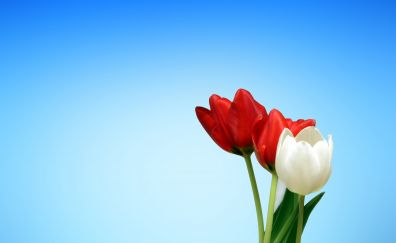 Spring, tulips, red white flowers