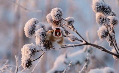 Goldfinch, bird, tree branch, winter