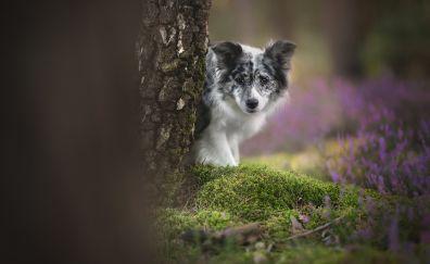 Pet dog, cute, Australian Shepherd