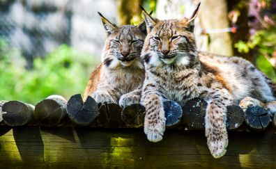 Cute, wild cats, Lynx