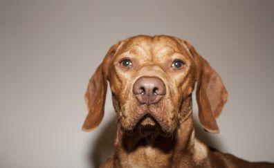 Dog, brown animal, Vizsla