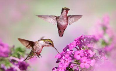 Hummingbirds, flight, pink flowers, blur