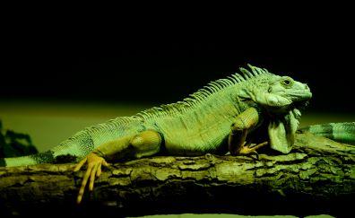Iguana, green lizard, reptile, tree trunk