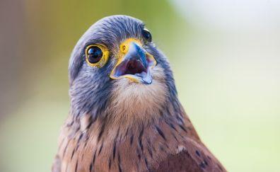Raptor, eagle, bird, closeup