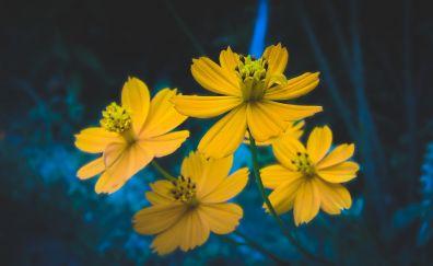 Yellow cosmos, flowers, spring