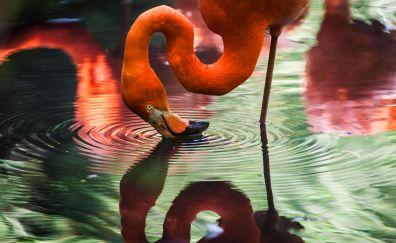 Flamingo bird, reflections