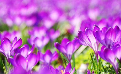 Purple crocus, blossom, spring, flowers