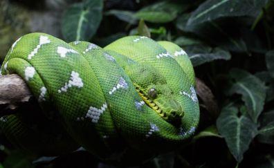 Green tree python, reptile, snake