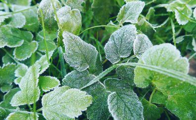 Snow frost, winter, green leaf, plants