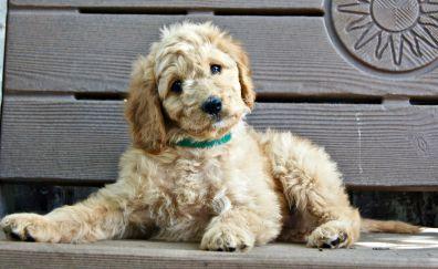 Puppy, bench, sitting, animal