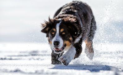 Bernese mountain dog, animal