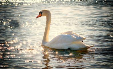 Swan, water bird, lake, sunlight