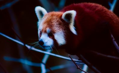Cute, Red Panda, wild animal, muzzle
