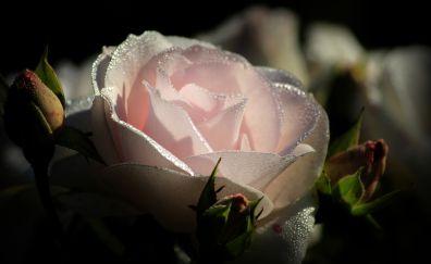 Light pink rose, water drops, close up, 5k