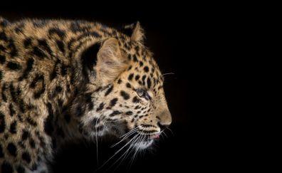 Snow leopard, muzzle, predator, 4k