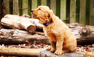 Golden retriever, dog, puppy, barks, 4k