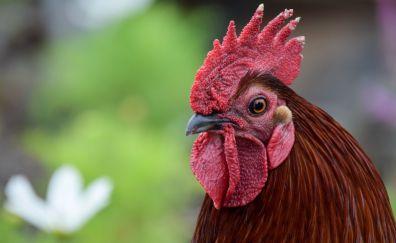 Rooster, muzzle, chicken, bird