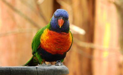 Rainbow lori, parrot, colorful bird, sitting