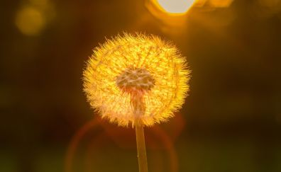 Dandelion, flowers, bokeh, sunlight, 4k