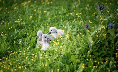 Baby swans, lake, plants, swim, 5k