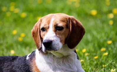 Beagle, dog, relaxed, animal, muzzle