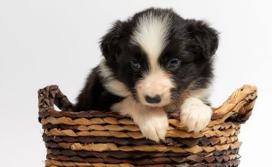 Cute, pet, puppy, basket