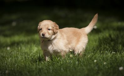 Cute, adorable, golden puppy, grass, 4k