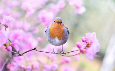 Spring, bird, European robin, blossom
