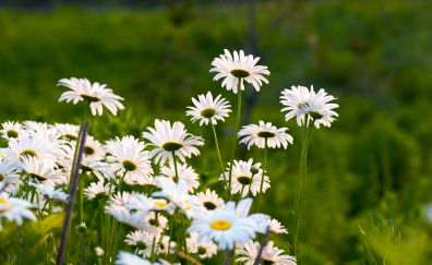 Garden, white daisy, plants and flowers, spring, 4k