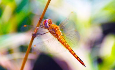 Dragonfly, insect, blur, close up