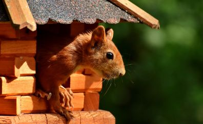 Squirrel, Chipmunk, red rodent, looking away